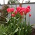 Eco_tulips.small