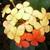 Ixora_coral_and_yellow_on_same_bud.small