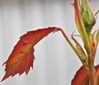 Aphids under leaf