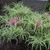 Rhododendron_stenopetalum_lineanrifolium_bushes.small