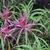 Rhododendron_stenopetalum_lineanrifolium_.small