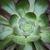 Succulent_close_up.small