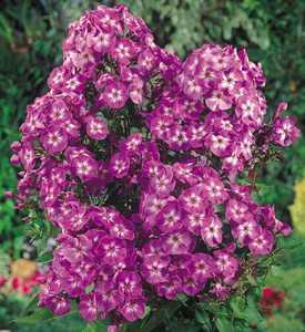 Summer Garden Phlox, 'Laura'