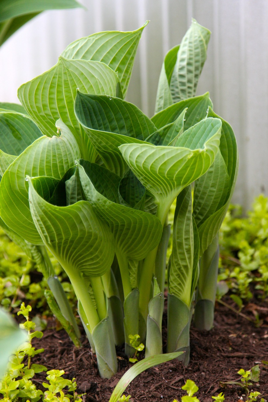 Hosta_shoots.full