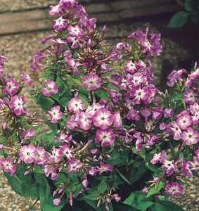 Phlox, Garden 'Little Boy'
