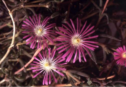 All_plants_delosperma_x_floribundum_starburst-1.full