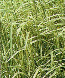 All_plants_acorus_gramineus_variegatus-1.full