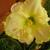 Butterscotch_daylily.small