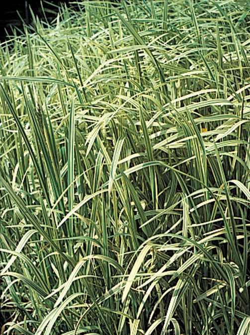 All_plants_acorus_calamus_variegatus-1.full