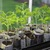 Tomato_seedlings_in_paper_pots.small