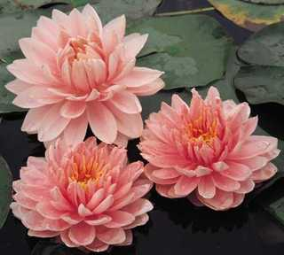 Water Lily, 'Lily Pons' Hardy