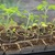 Tomato_seedlings_in_cow_pots.small