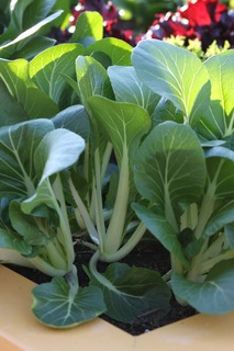 Close up of bok choy stems