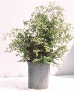 Cypress, False Compact Hinoki