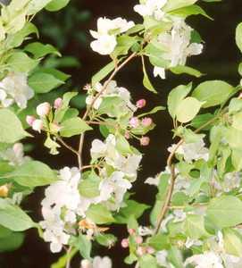 Crabapple, Flowering Sargent