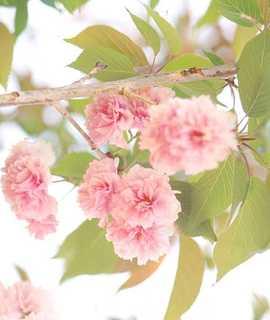 Cherry, 'Kwanzan'