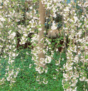 Cherry, Weeping 'Snow Fountain'