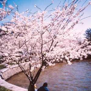 Cherry, Yoshino