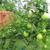 Ponderosa_1st_harvest_aug_09.small