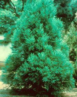 Cedar, Japanese