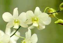 Orchid, Dendrobium 'Emma White'