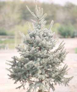 Spruce, 'Hoopsi'