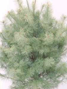 Pine, White Natural