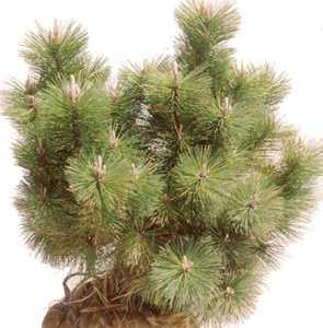 Pine, Japanese Black