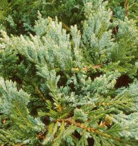 Juniper, Creeping 'Blue Chip'