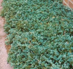 Juniper, Creeping Blue Rug