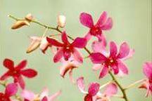 Orchid, Dendrobium 'Campactum Gouldil' x 'Halawa Beauty'