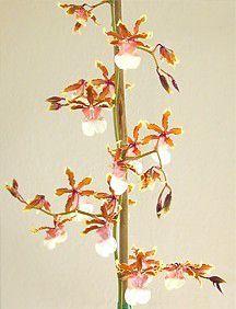 Orchid, 'Volcano Queen'