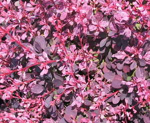Barberry, Japanese 'Rose Glow'