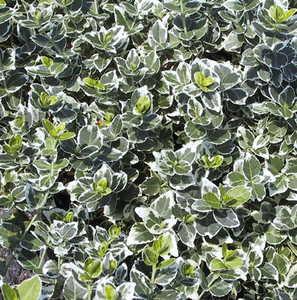 Euonymus, Winter Creeper 'Emerald Gaiety'