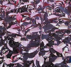 Sand Cherry, Purple-Leaf