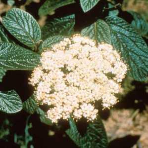 Viburnum, Leatherleaf