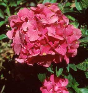Hydrangea, Big Leaf 'Pink Elf'
