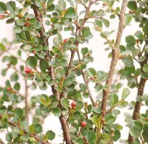 Cotoneaster, Cranberry