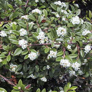 Cotoneaster, Willowleaf