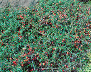 Cotoneaster, 'Coral Beauty'