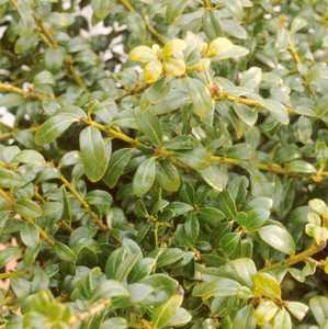 Holly, Japanese 'Green Lustre'