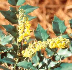 Oregon Grape Holly