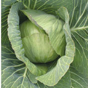 Cabbage_invento_f1.medium.detail