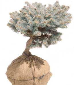 Spruce, Globe Blue