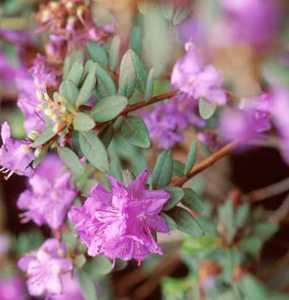 Rhododendron, 'Purple Gem'