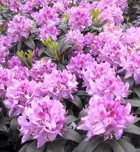 Rhododendron, 'Anah Kruschke'