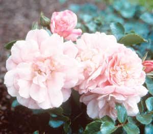 Rose, Apple Blossom Flower Carpet