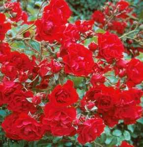 Rose, 'Red Meidiland'