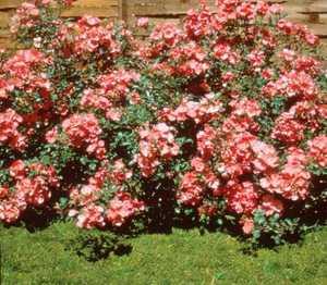 Rose, 'Pink Meidiland'