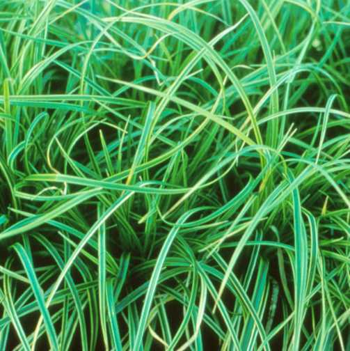 All_plants_carex_morrowii_variegata-1.full